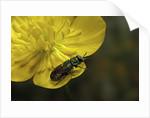 Anthaxia salicis (pasture splendour beetle) by Corbis
