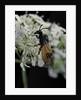 Arge cyanocrocea (bramble sawfly) by Corbis