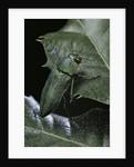 Aurigena unicolor (jewel beetle) by Corbis