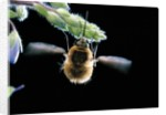 Bombylius major (Large Bee-fly), a bee mimic by Corbis