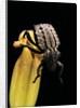 Brachycerus undatus (weevil) by Corbis