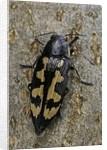 Buprestis novemmaculata (jewel beetle) by Corbis