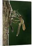 Calopteryx virgo (beautiful demoiselle) - emerging by Corbis