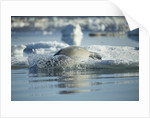 Bearded Seal Dives from Sea Ice in Hudson Bay, Nunavut, Canada by Corbis