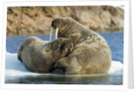 Walrus and Calf in Hudson Bay, Nunavut, Canada by Corbis