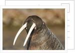 Walrus Displays Tusks along Hudson Bay, Nunavut, Canada by Corbis