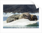 Walrus Sleeping on Ice in Hudson Bay, Nunavut, Canada by Corbis