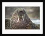 Walrus on Ice in Hudson Bay, Nunavut, Canada by Corbis