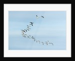 Migrating Flock of Snow Geese, Repulse Bay, Nanavut, Canada by Corbis