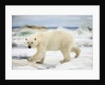 Polar Bear on Hudson Bay Sea Ice, Nunavut Territory, Canada by Corbis