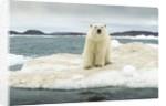 Polar Bear on Hudson Bay Pack Ice, Nunavut, Canada by Corbis