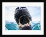 Polar Bear Biting Underwater Camera Dome, Nunavut, Canada by Corbis