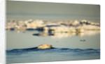 Polar Bear Swimming in Hudson Bay, Nunavut, Canada by Corbis