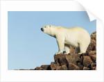 Polar Bear on Harbour Islands, Hudson Bay, Nunavut, Canada by Corbis