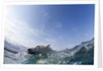 Swimming Polar Bear, Hudson Bay, Nunavut, Canada by Corbis