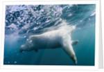Underwater Polar Bear by Harbour Islands, Nunavut, Canada by Corbis