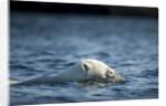 Polar Bear Swimming by Harbour Islands, Nunavut, Canada by Corbis