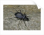 Carabus intricatus (blue ground beetle) by Corbis
