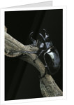 Chalcosoma atlas (atlas beetle) by Corbis