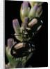 Chrysolina americana (rosemary beetle) by Corbis