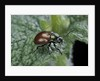 Chrysolina polita (leaf beetle) by Corbis