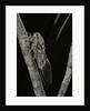 Cicada orni by Corbis