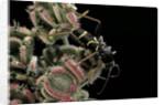 Clytus lama (longhorn beetle) by Corbis