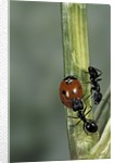 Coccinella septempunctata (sevenspotted lady beetle) - with ant by Corbis