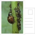 Coccinella septempunctata (sevenspotted lady beetle) - devouring aphids by Corbis