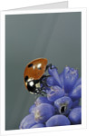 Coccinella septempunctata (sevenspotted lady beetle) by Corbis