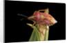 Codophila varia (shield bug) by Corbis