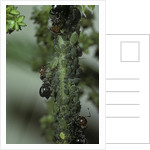 Crematogaster scutellaris - ants with aphids by Corbis