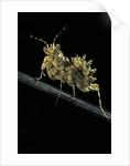 Creobroter gemmatus (jeweled flower mantis) by Corbis