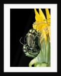 Cryptocephalus hypochaeridis (green leaf beetle) - mating by Corbis