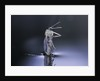 Culex pipiens (common house mosquito) - emerging (d8) by Corbis