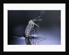 Culex pipiens (common house mosquito) - emerging (d9) by Corbis