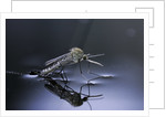 Culex pipiens (common house mosquito) - emerging (d10) by Corbis