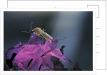 Culex pipiens (common house mosquito) - on a flower by Corbis