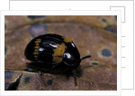 Diaperis boleti (darkling beetle) by Corbis