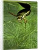 Dytiscus marginalis (great diving beetle) by Corbis