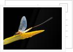 Ephemera danica (mayfly) by Corbis