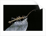 Epidares nolimetangere (touch me not stick insect) by Corbis