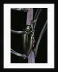 Eurythyrea micans (jewel beetle) by Corbis