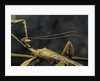 Extatosoma tiaratum (giant prickly stick insect) - male by Corbis
