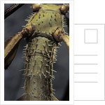 Extatosoma tiaratum (giant prickly stick insect) by Corbis