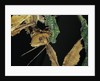 Extatosoma tiaratum (giant prickly stick insect) - feeding on leaf by Corbis
