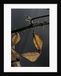 Extatosoma tiaratum (giant prickly stick insect) - leg by Corbis