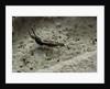 Forficula auricularia (european earwig) by Corbis