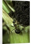 Formica rufa (red wood ant) - with aphids by Corbis