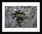Ants attacking a bushcricket by Corbis